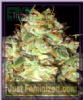 Emerald Triangle Bubba Cheese Auto Fem 5 Seeds